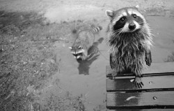adorabomb:  Even wet raccoons are cute.