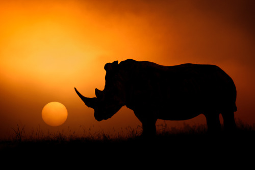 "theanimalblog:  ""Rhino Sunrise"" by Mario Moreno"