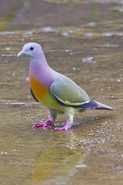 superstarling:  Pink-necked Green Pigeon (S E Asia).  This isn't a Photoshop job. These birds exist. I was always attached to NYC pigeons, but now I really do see how inadequate they are. Man, I hate it when others are right instead of me.  STEPH STEPH STEPH STEPH