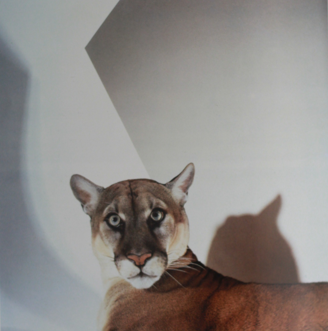 Florida panther by James Balog