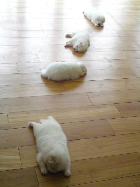 Ooooo, A trail of White Fluffy Puppies!!!! Can I haz them all???? <3 kqjvpqibvqpejv peirburbev1