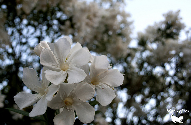 White Oleander on Flickr.www.katheryns-gallery.com