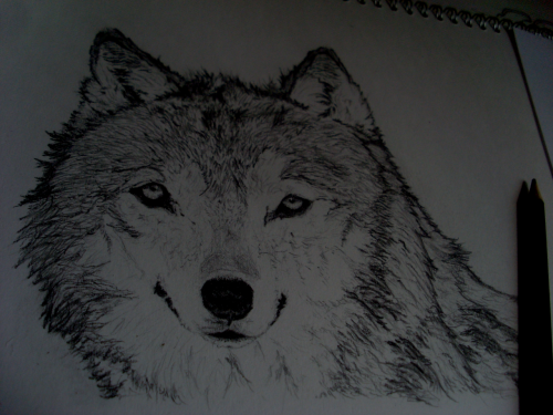 "Grey Wolf - Pencil (H, 3H, 4B) I'm not a fan of dogs but there's something super sexy awesome funtiemz about wolves, so I attempted it :) I actually started drawing this yesterday but then my eyes (Or rather, one of my eyes) went all OoOoOoOoOo so I was kinda ""Should I upload it now or will I be bothered to carry on drawing it tomorrow?""  I'm super glad I didn't upload it because, if you can believe it, it looked a lot worse than it does now. But, yeah, I'm gonna give myself a gold star for at least trying, because that's what counts! Check out and share my other drawings and artwork, too? :)"