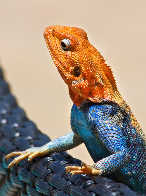 "earth-song:  ""Agama"" by Jaroslava Melicharová"
