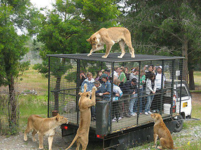 lions20spurs50:  Zoo in Russia. Looks like a better experience than an American one  Until one decides to troll everyone and poop on the top of the cadge hahaha, this is a REALLY cool idea though!
