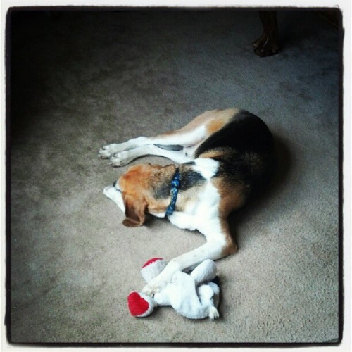 Mr. Bojangles loves his bear. #mrbojangles, #walker, #hound, #doggie, #love, #bear, #toy, #stuffedanimal, #mine, #nap (Taken with instagram)