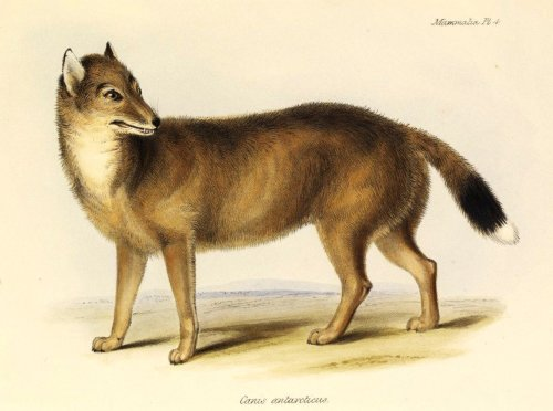 "biomedicalephemera:  The Falkland Islands Wolf - Dusicyon culpaeus [now Dusicyon australis] The Falkand Islands wolf was also known as the ""warrah"", from the Guarani word for ""fox"". It was the closest living relative to the maned wolf, an unusual-looking long-legged canid endemic to South America. The Falkland Islands are geographically Argentinian, but were colonized by the British in the late 18th century. The military conflicts regarding the islands aside, British settlers introduced sheep very early on in the colonization, and have kept sheep on the islands ever since. The colonists on the Falklands feared the wolves would eat their sheep, and poisoned or slaughtered large numbers of them every year. The fearless nature of this top carnivore was a major factor in its ultimate extinction. Even in the last days of their existence, they had no fear of man, and could be baited with nothing more than a chunk of meat held in an outstretched hand. The species was declared extinct in 1876. Interesting side-note: The Latin name for the species means ""foolish wolf of the south"". The Zoology of the Voyage of the H.M.S. Beagle: Mammalia, part 2. Charles Darwin, 1838."