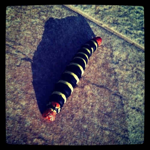 Little giant. #caterpilar #nature #insects #colors  (Taken with instagram)