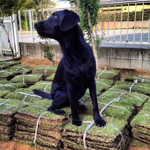 #dogofthedayjp  #dog  #lab  #dogs  #黒ラブ  #ラブラドール  #blacklab