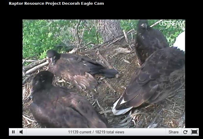 Oh my! How the Decorah Iowa eaglets have grown! #elemchat #spedchat #scichat via @via plnaugle Perfect day to view this fab live webcam. A blustery day in the trees! Don't forget to turn up the sound and view full screen. Snap a few screenshots too. Great to use for projects and presentations.   Streaming by Ustream You may also like… Flying Skunk Farms Africam  Amazing Animal Webcams includes live cams, resources, and printables!