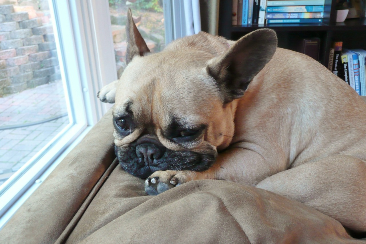 frenchieaday:  afternoon snooze