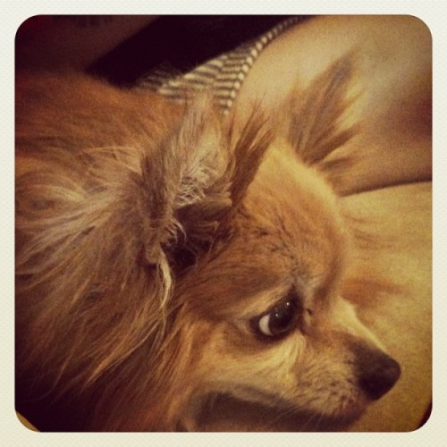 Some Tater Tot! #pom #pomeranian  (Taken with instagram)