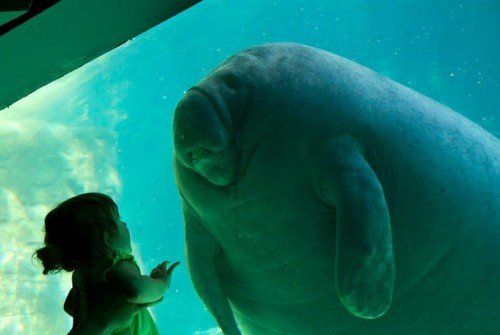 First Contact— girl meets manatee, by Christopher Jobson.
