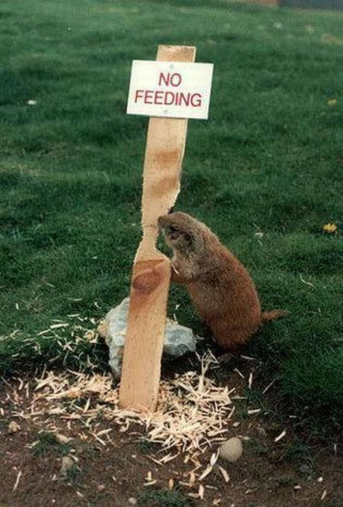 "Beaver Gnawing on ""No Feeding"" SignBeavers are semi-aquatic rodents that hate authority."