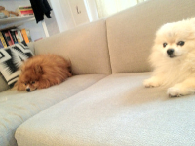 I made this Pomeranian to the left. True story. Tumblr is about creativity.. I create poms. -tommypom