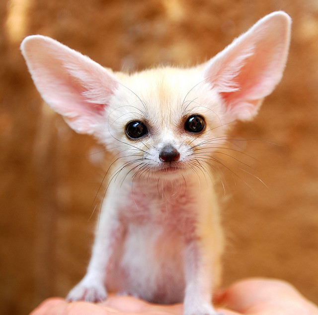 eclatantinexplique:  Fennec fox by floridapfe on Flickr.