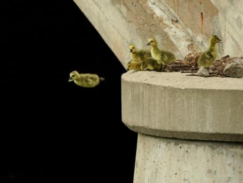 First jump of a Canadian gosling by daniel-hempfner