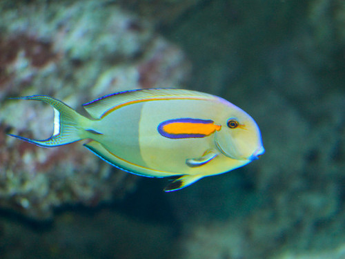 Na'ena'e - the Orangeband Surgeonfish