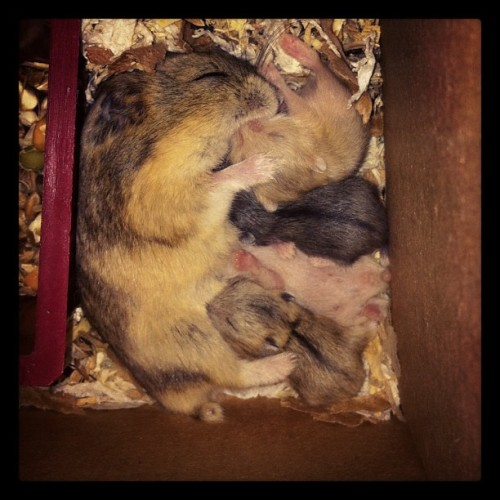 The power of love #hamster #cute #baby  (Taken with instagram)