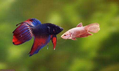 ichthyologist:  Betta (Betta splendens) The siamese fighting fish displays sexual dimorphism meaning that males and females of the same species look different. Only males possess the flowing colourful finnage commonly associated with these fish Image source
