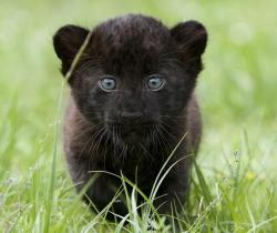 llbwwb:  Baby Blue eyed Panther By:fuzzy blue one