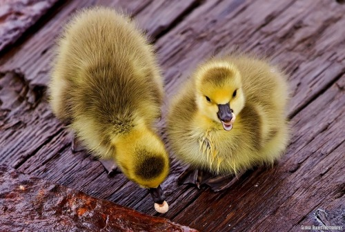 "magicalnaturetour:  ""Baby Geese eating Cheerios"" by Mstrsai :)"