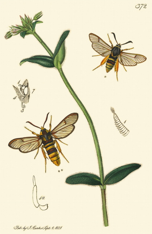 scientificillustration:  Sesia bembeciformis (Lunar Hornet Clearwing) and Sesia apiformis (Hornet-moth)