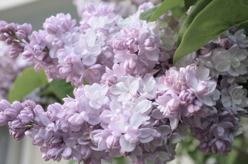 source: Kim Smith Designs ~ 'Beauty of Moscow' lilac