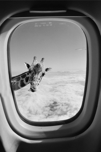 the-coconut-kid:  ahhhhh giraffe