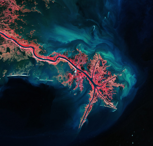 bluprint:  This Landsat image of 3 October 2011 shows the Mississippi River Delta, where the largest river in the United States empties into the Gulf of Mexico. In this false-colour image, land vegetation appears pink, while the sediment in the surrounding waters are bright blue and green. The delta is known as the 'bird-foot' delta because of the shape created by the channels extending outward. The size of the Mississippi River Delta built over millions of years owing to sediment deposition. The tons of sediment carried by the river system created the wetlands in southern Louisiana, which are home to many endangered species and help to protect the mainland from hurricane winds by acting like speed bumps. Over the last several decades, however, the delta's sediment load has been drastically reduced by natural and man-made factors. Extensive oil and gas extraction causes the subsidence of the delta and wetlands, and rising sea levels increase erosion as the fresh water vegetation dies due to the influx of salt water. Currently, a chunk of land the size of a football field is lost about every half an hour.