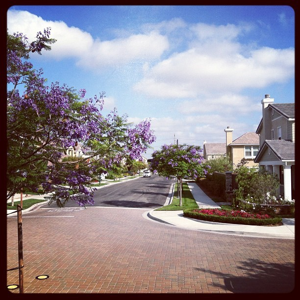 The jacarandas are blooming. All hail the blue flowered trees. (Taken with instagram)