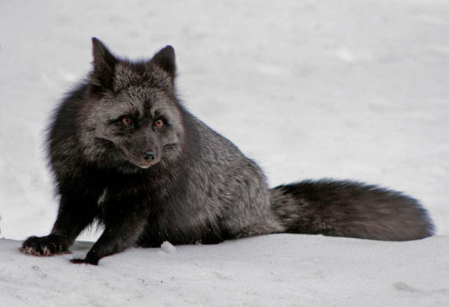lizawithazed:  rexiv:  Melanism  (the opposite of Albinism) Gorgeous.
