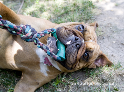 "Susan the #EnglishBulldog says, ""I just love 3-day weekends - 'cuz there's more time to PLAY!!! Yay! Until tomorrow - high-five!"""