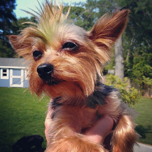 Lookit this tiny dog with a green mohawk! #dogs #animals (Taken with instagram)