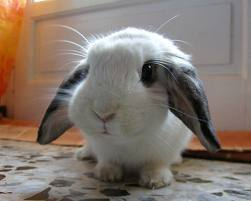 yogachick:  … And now for an unrelated cute bunny post.