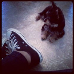 Chucks and Polo #chucks #converse #dog #puppy #yorkie (Taken with instagram)
