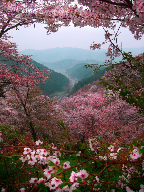 thisyesthis:  Sakura Mountains Yoshino, Japan ~ Photo by Paul Hillier