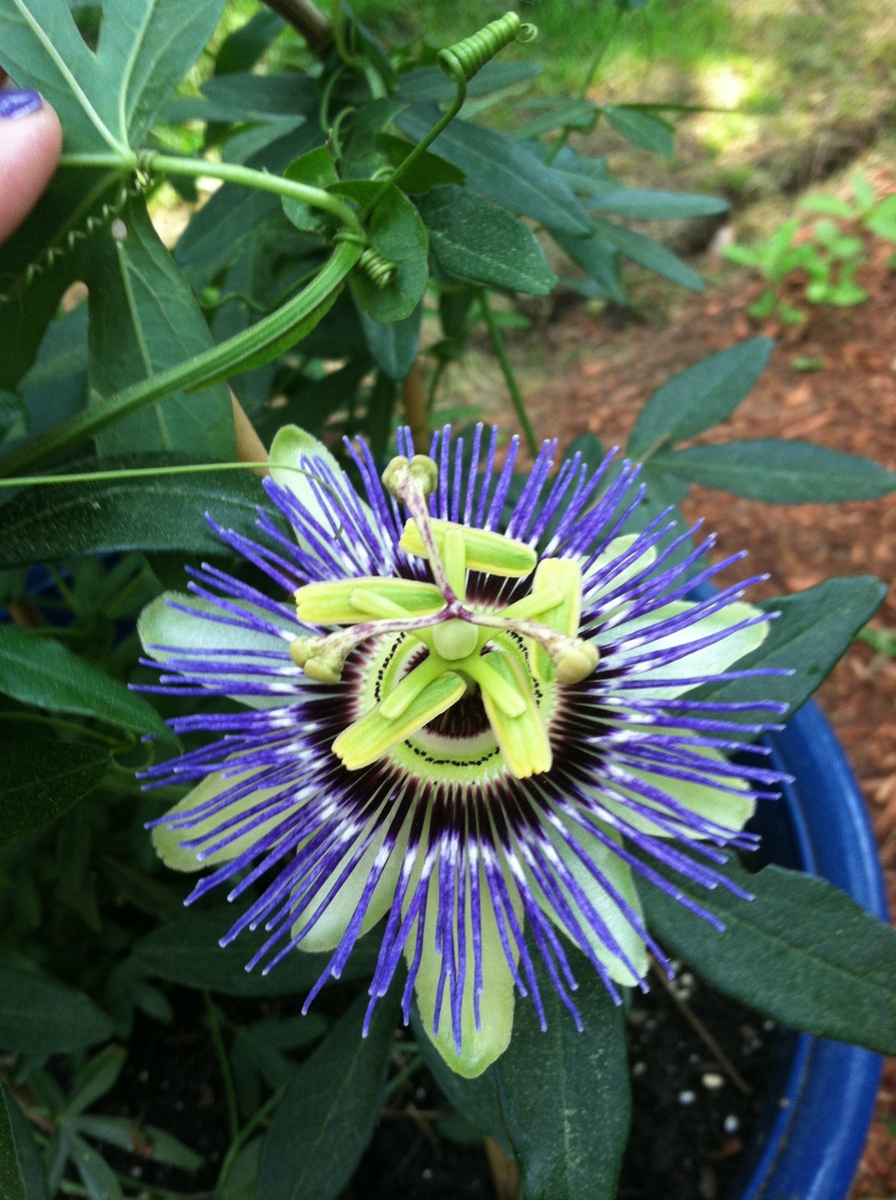 My mom's Passion Flower plant is in bloom!