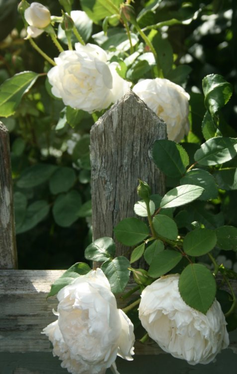 ~ gorgeous roses ana-rosa:  http://warrengrovegarden.blogspot.com.br/