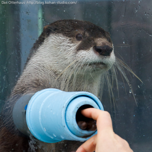 dailyotter:  Otter and Hoomin Touch Paws Via Das Otterhaus