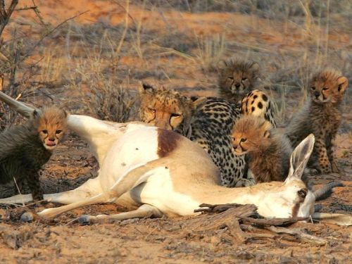 zewildside:  Momma cheetah and her four sons. Snackin'. Photo by Gus Mills