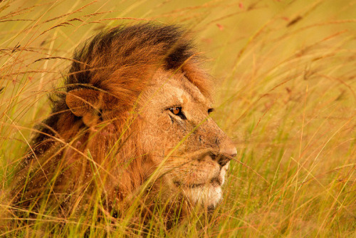 wild-earth:  Earth Shots Stephen Oachs  Heart of a lion