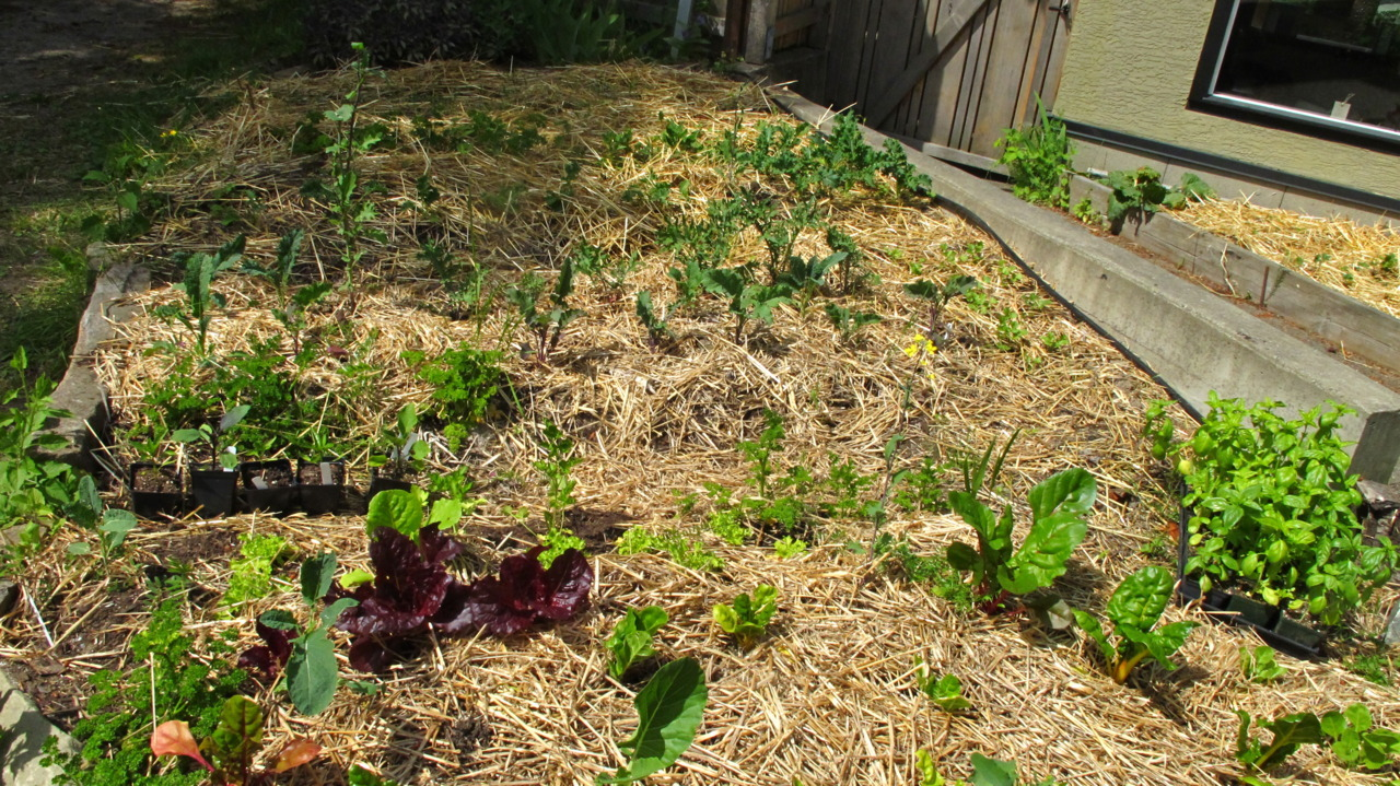 Our first bed of greens bustin' its britches.  Many thanks to my friend Marsha's guidance and support.