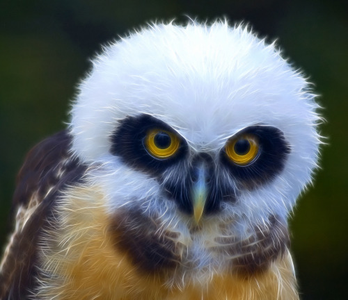 The Beauty of Youth -Juvenile Spectacled Owl (by Steve - 1 Million+ (safe) views - thank you)