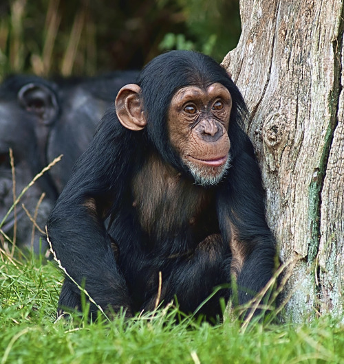Baby Chimpanzee at Chester Zoo (by Steve - 1 Million+ (safe) views - thank you)