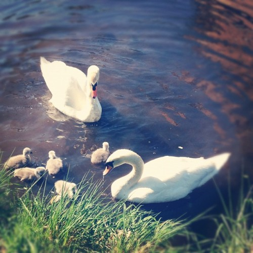 Cygnets and swans near Craft Scotland office on the Water of Leith (Taken with Instagram at craftscotland)
