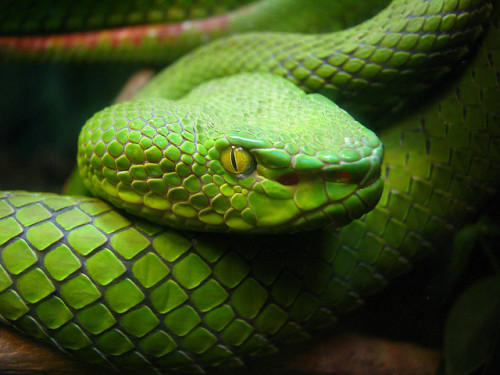 animals-animals-animals:  Asian Pit Viper (Trimeresurus sp.) (by Care_SMC)