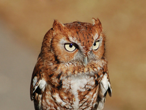 animals-animals-animals: Eastern Screech Owl (Megascops asio) (photo by Jeff Whitlock)