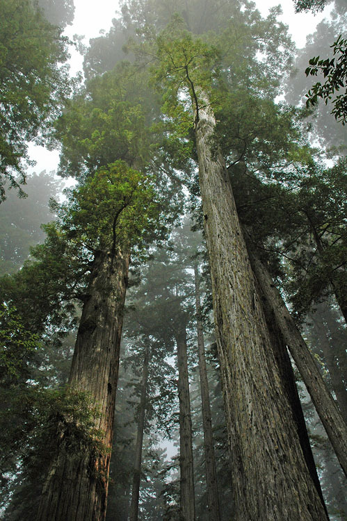mer-de:  Lady Bird Johnson grove in Redwoods National Park