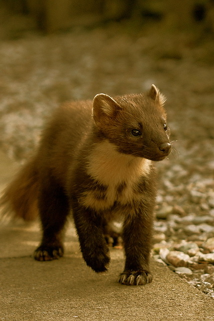 FUCK YOU WHOEVER CALLED THIS BEAUTIFUL PINE MARTEN A RODENT. They're part of the mustelidae family. You know, like weasels and ferrets.  Learn a few things before you tag shit.